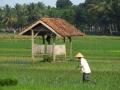 Bewerken van de rijstvelden