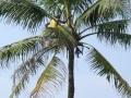 Palmolie tappen