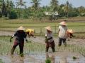 Rijst planten