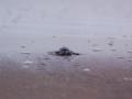 Sukamade - Babyschildpadje op weg naar zee