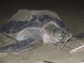 Sukamade-Groene reuzenschildpad