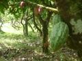 Oost-Java - Cacaovruchten op plantage
