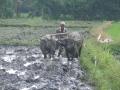 Karbouwen voor de ploeg op rijstveld