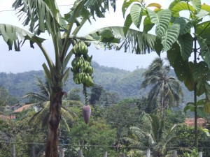 Bananenboom met bloem
