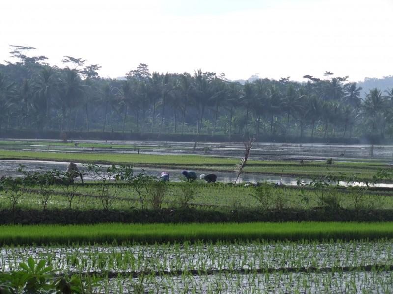 Rijstveld op Java