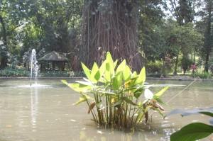 Vijver Botanische Tuin Bogor