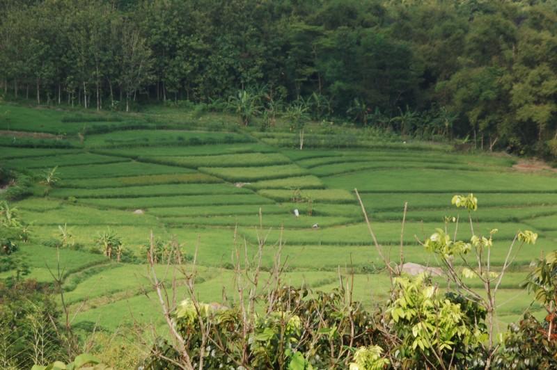 Rijstveld Java